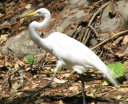 great-egret.png