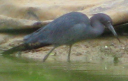 little-blue-heron.png