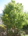 prunus1.png